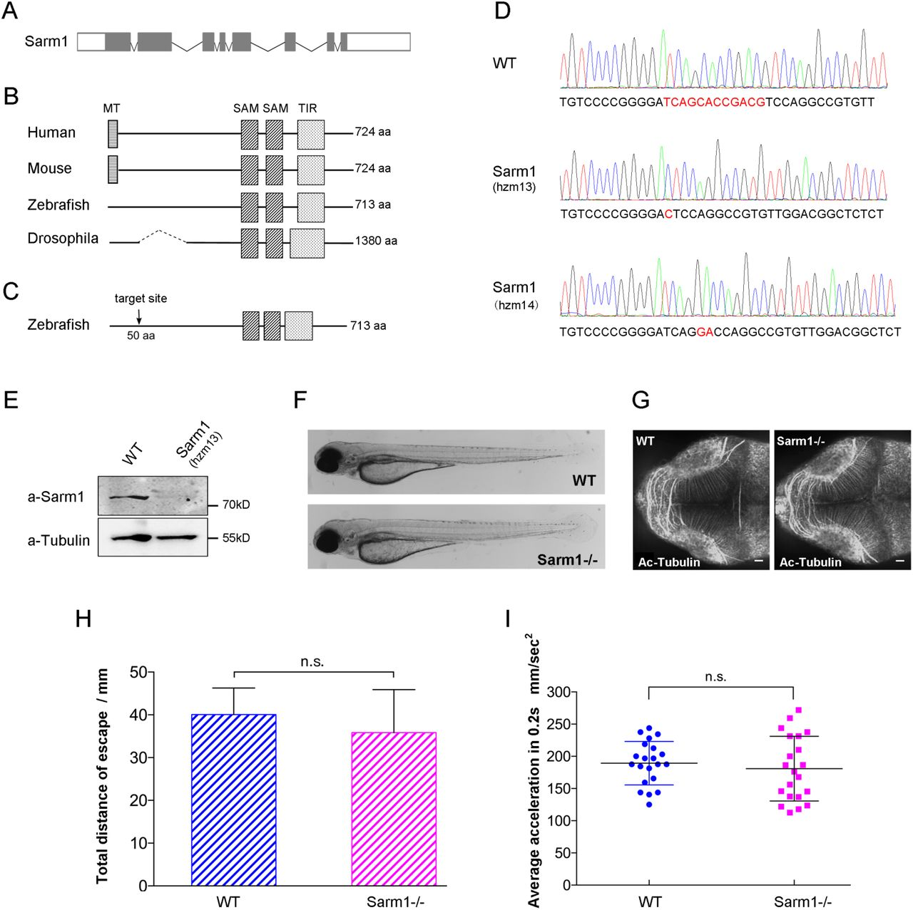 Systemic loss of Sarm1 is glioprotective after neurotrauma