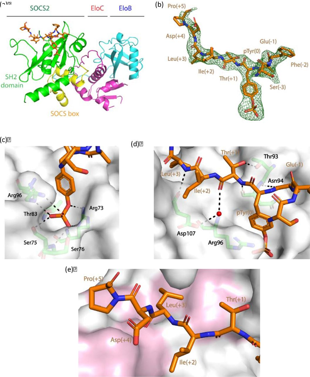 Structural insights into substrate recognition by the SOCS2