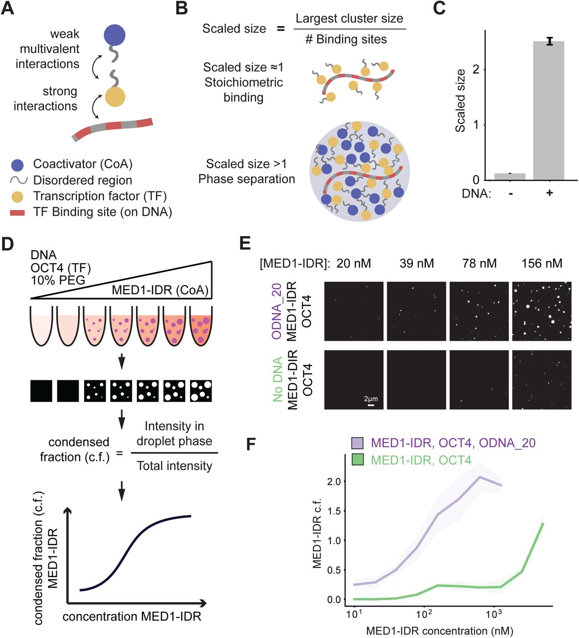 Enhancer features that drive formation of transcriptional