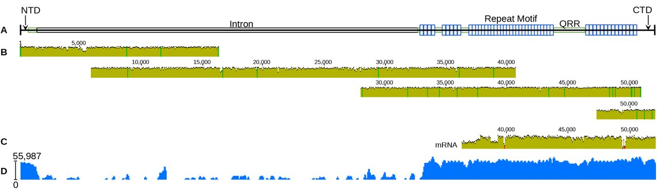 A. trifasciata Aggregate Spidroin 2 (AgSp2) schematic, aligned Oxford <t>Nanopore</t> <t>gDNA</t> reads, longest alignable mRNA read, and mapped read coverage. (A) AgSp2 consists of 20,526 bp of coding sequence and ~31,455 bp of intronic sequence, totalling ~51,981bp of genomic sequence (intronic sequence could not be corrected with short readt derived from mRNA). Abbreviations correcpond to regions of the predicted protein: NTD = N-terminal domain; QRR = glutamine -rich region (all regions in green); CTD = C-terminal domain. (B) Individual alignment of four Oxford Nanopore reads to the con-ensus AgSp2 together cover the entirety of the gene. (C) Alignment of a 16.5 kb RNA transcript to the consensus AgSp2. (D) Log read coverage of Illumina RNASeq data generated from aggregate gland tissue mapped to AgSp2.
