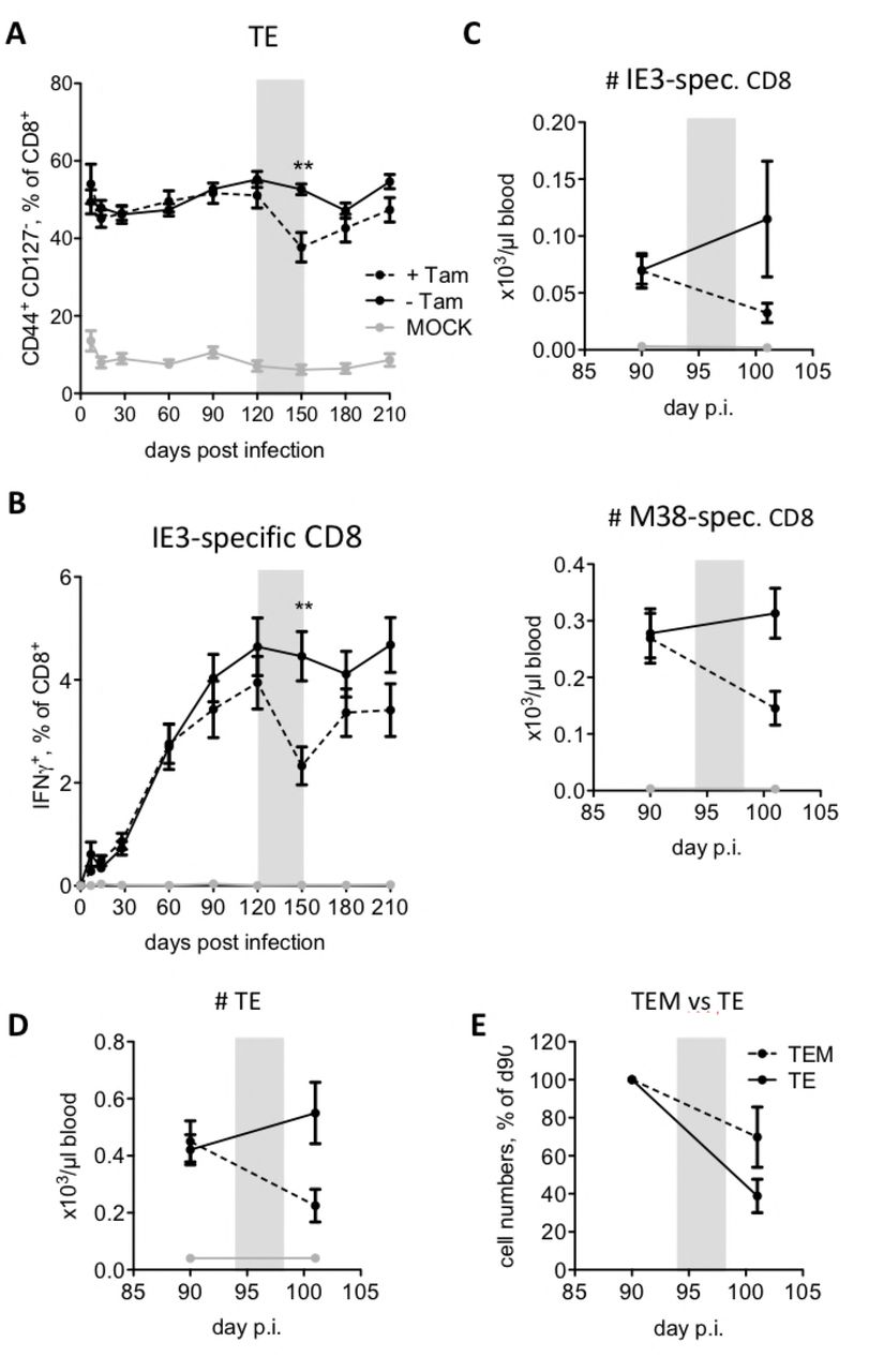 MCMV-specific CD8 T-cells are depleted by Tamoxifen treatment in R26 CreER T2 mice. (A, B) R26 CreER T2 mice were infected with 10 6 PFU MCMV or 200 μl PBS (mock). 4 months post infection half of the mice received food pellets containing 400 mg/kg Tamoxifen for 4 weeks (indicated with a grey rectangle). Blood was collected and analysed at 0, 7, 14, 28, 60, 90, 120, 150, 180, and 270 dpi. Blood leukocytes were stimulated with the IE3 peptide (RALEYKNL) and stained for CD8, CD44, CD127, and IFNγ expression. (A) Kinetics of effector (CD44 + CD127 - , TE) CD8 T-cells before, during, and after Tamoxifen treatment. (B) Percentages of IFNγ + CD8 T-cells specific for the IE3 peptide before, during, and after Tamoxifen treatment. Data are pooled from three independent experiments with up to 15 mice per group in total. Error bars indicate SEM. Significance was assessed by Mann-Whitney test. ** p