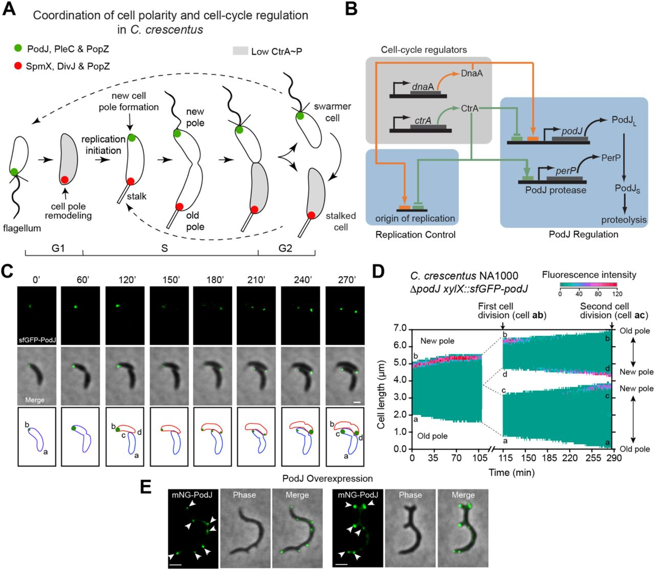 A circuit of protein-protein regulatory interactions enables