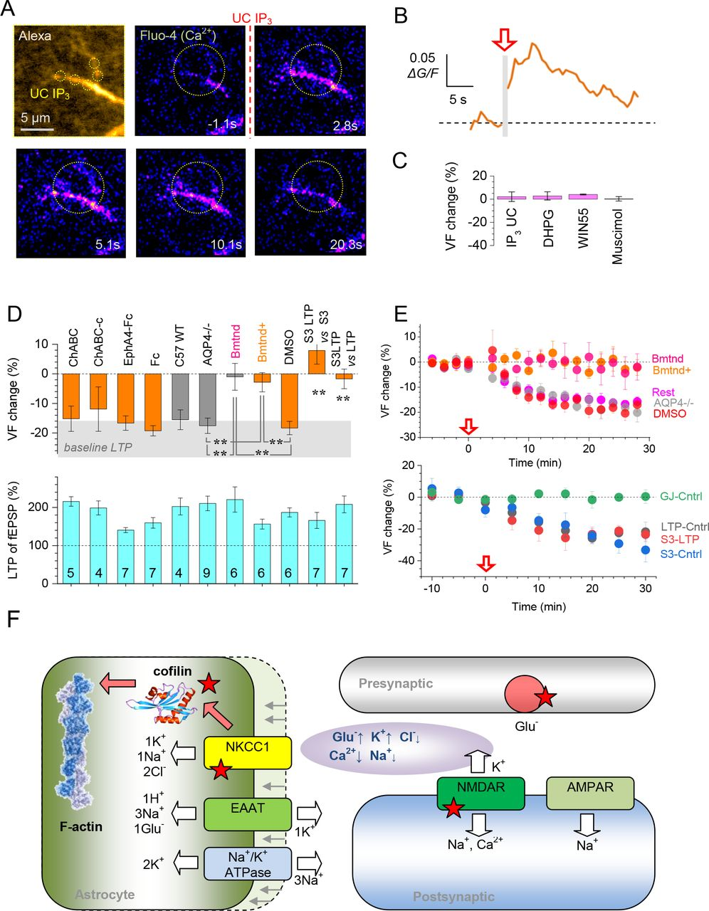 Ltp Induction Drives Remodeling Of Astroglia To Boost Glutamate
