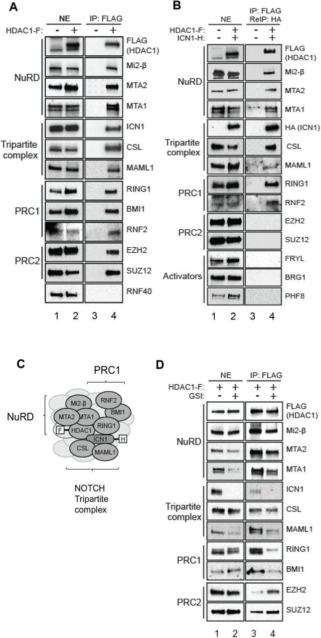 NOTCH assembles a transcriptional repressive complex