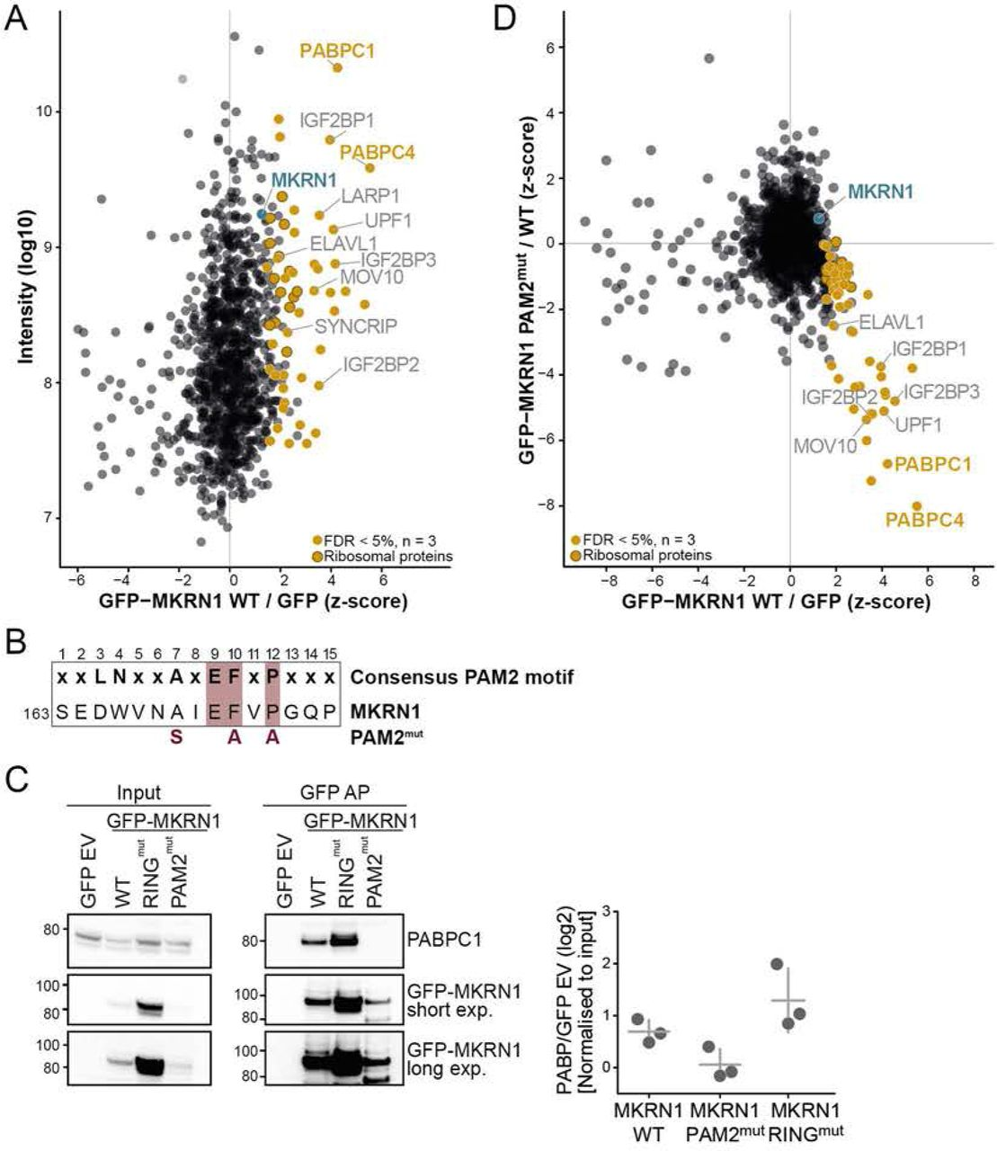 MKRN1 interacts with PABP and other regulators of translation and RNA stability. ( A ) Protein interactome of GFP-MKRN1 wt in HEK293T cells analysed by quantitative MS-based proteomics. Combined SILAC ratios (n = 3 replicates) after z-score normalisation are plotted against log 10 -transformed intensities. 1,100 protein groups were quantified in at least two out of three replicate experiments. MKRN1 and significant interactors are highlighted (FDR