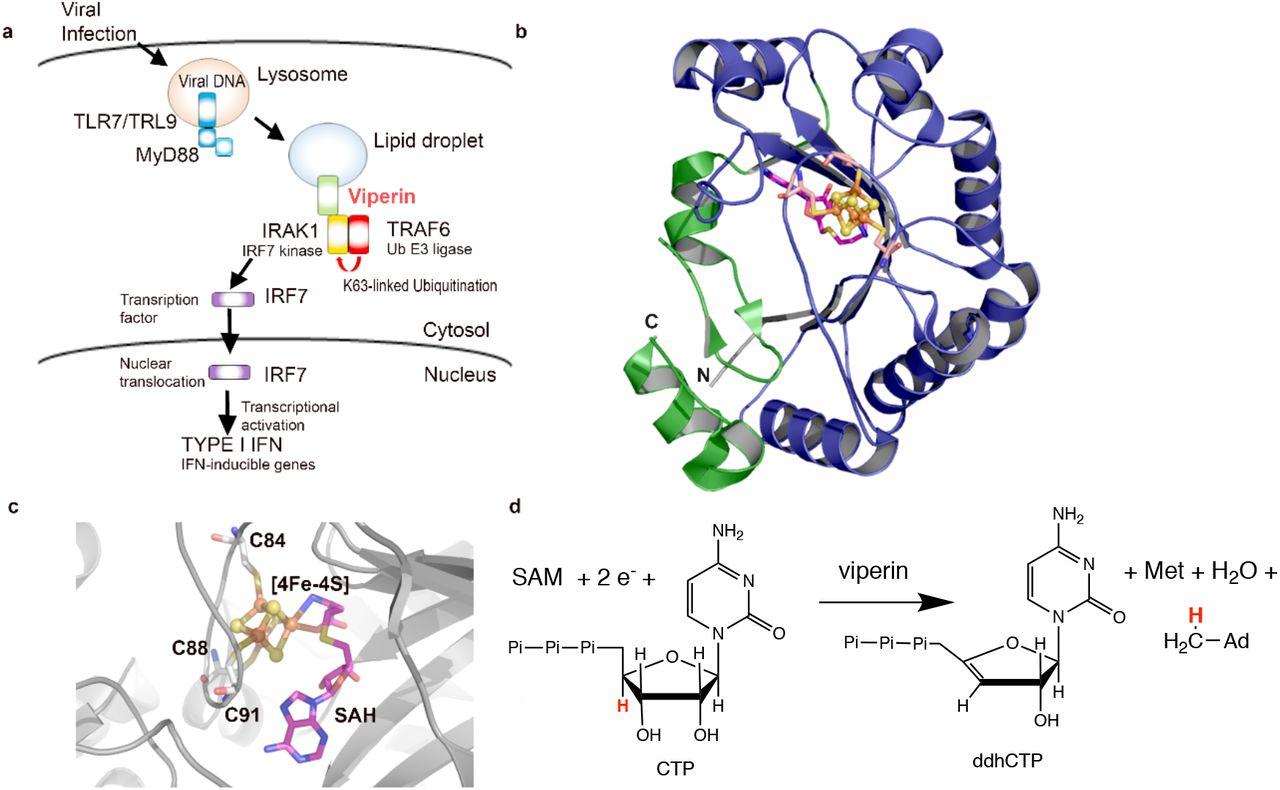 Interactions between Viperin, IRAK1 andTRAF6 couple innate