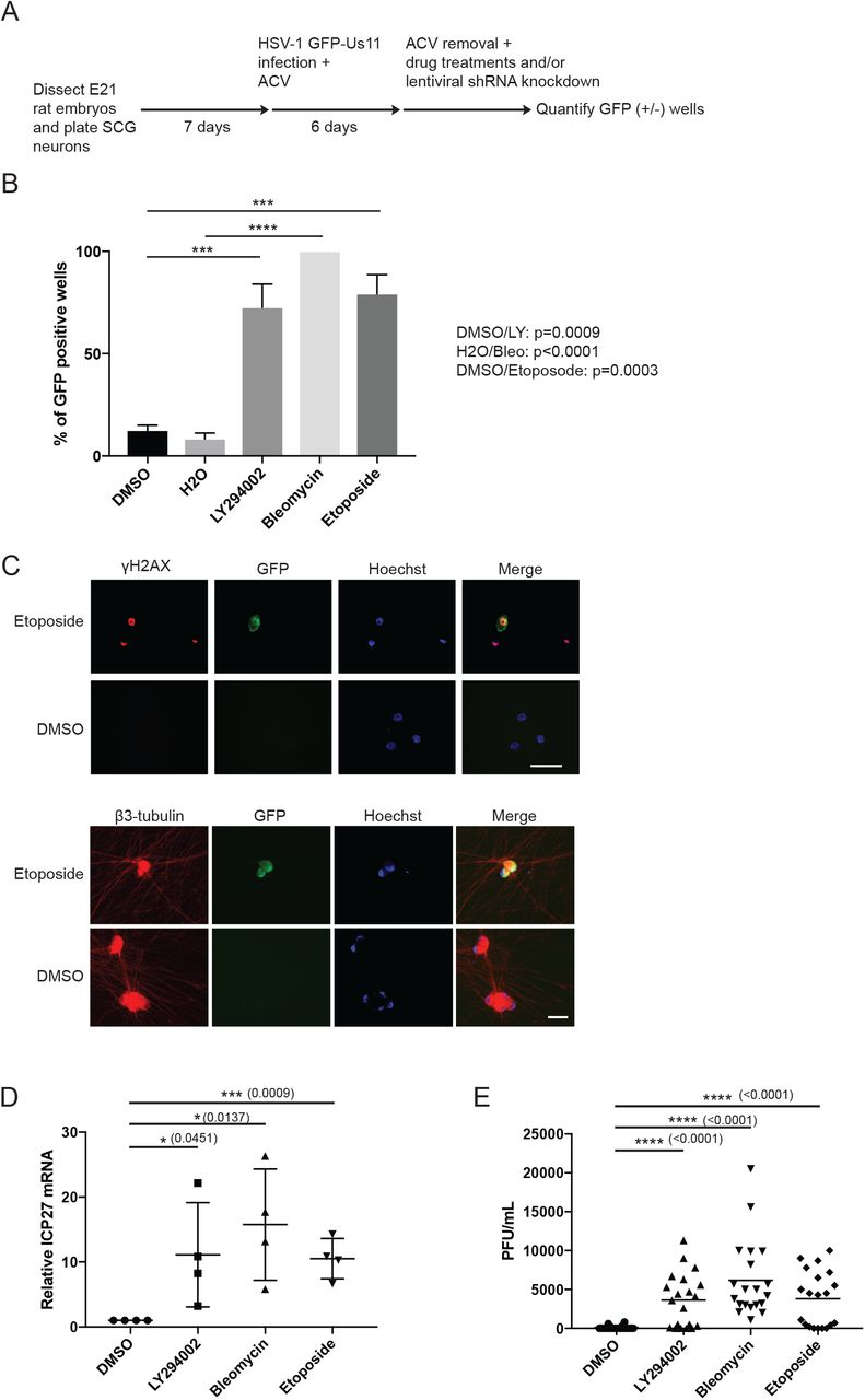 Topoisomerase 2β-dependent nuclear DNA damage shapes