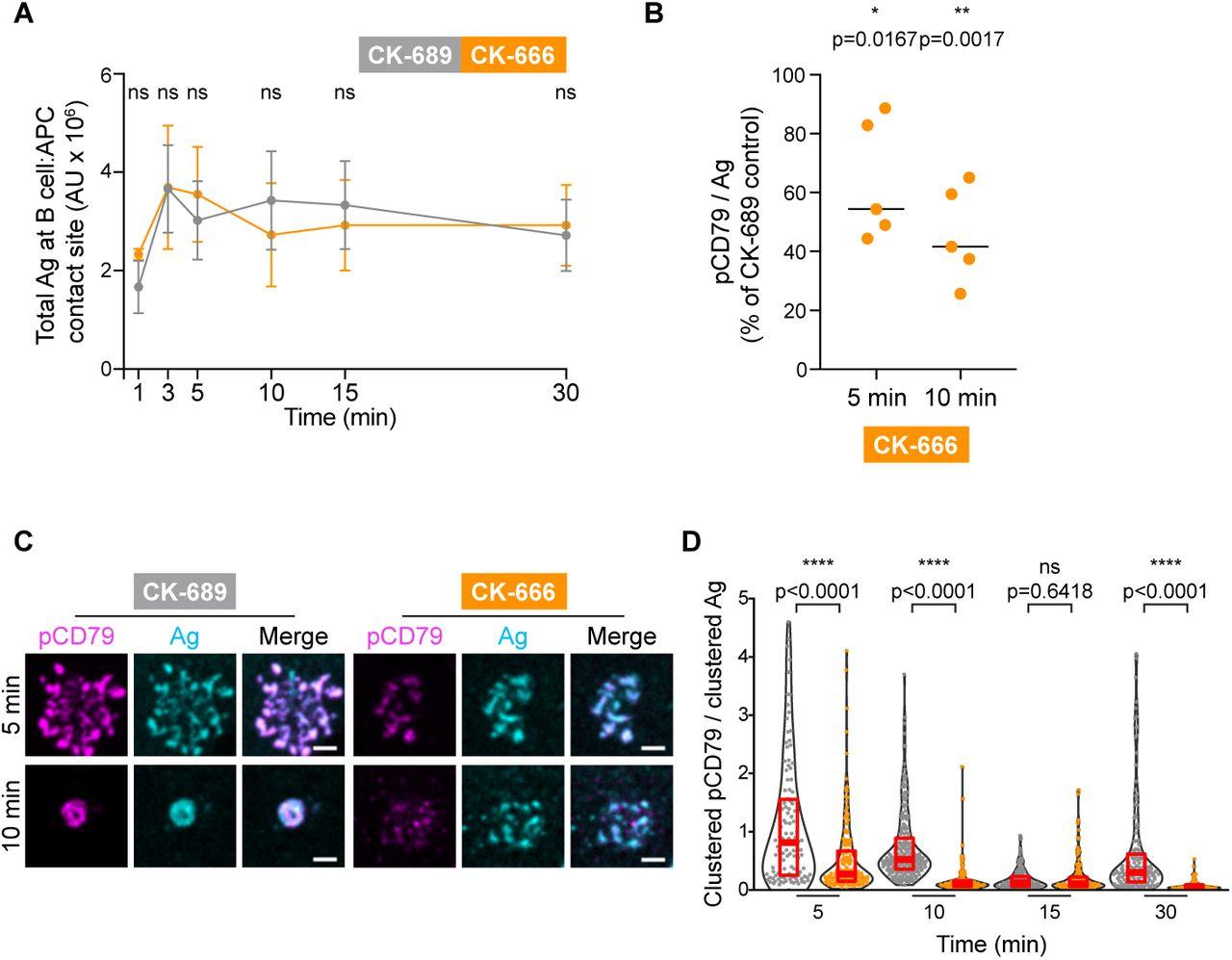 Arp2/3 complex-driven spatial patterning of the BCR enhances