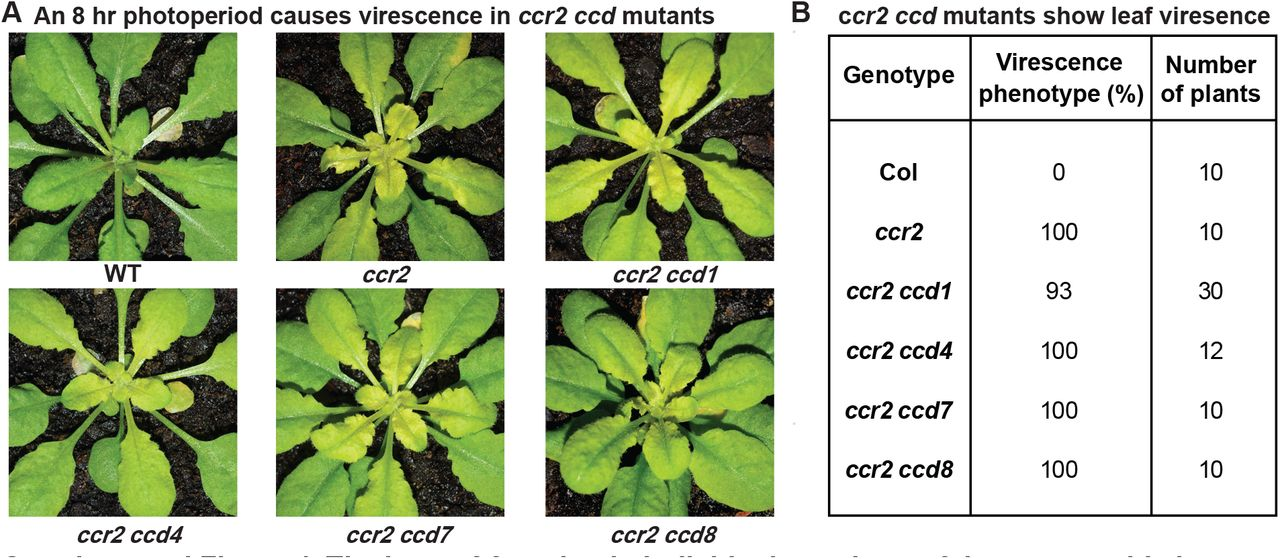 The loss-of-function in individual members of the carotenoid cleavage dioxygenase gene family cannot restore plastid development in ccr2 rosettes. Three-week-old WT, ccr2 , ccr2 ccd1, ccr2 ccd4, ccr2 ccd7 , and ccr2 ccd8 (F 3 homozygous double mutant lines) plants were shifted from a 16-h to 8-h photoperiod until newly formed leaves in the ccr2 rosette displayed a virescent leaf phenotype. (A) Representative images of plants showing newly developed leaves in the rosette. (B) Quantification of leaf variegation in individual rosettes from ccr2 ccd double mutants. Data is representative of multiple independent experiments. Statistical analysis by ANOVA with post-hoc Tukey test showed no significant difference in the number of ccr2 and ccr2 ccd plants displaying a virescent phenotype.