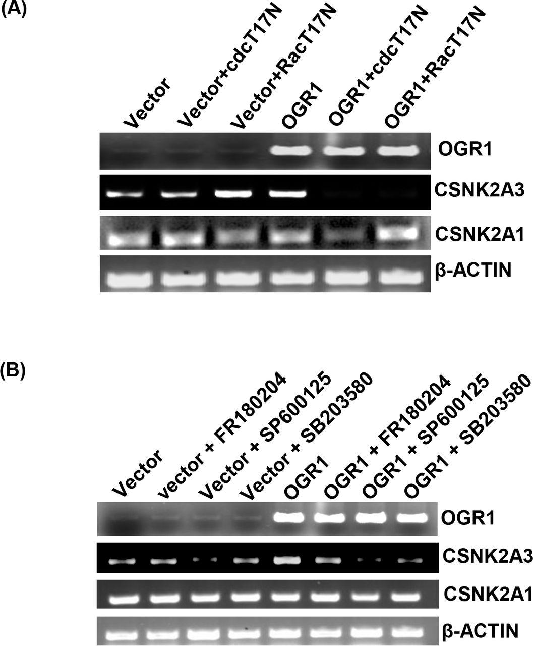 Role of Rac/CDC42 and MAPK pathways in regulation of CK2α genes induced by OGR1 (A) A549 cells were co-transfected with OGR1 or pcDNA3.1 (Vector) and negative dominant mutants of Rac (pcDNA3.1-RacT17N) or negative dominant mutants of CDC42 (pcDNA3.1-cdcT17N). Semiquantitative RT-PCR of was performed to analyse CSNK2A1 and CSNK2A3 transcript expression. β-actin was used as control for equal loading; Inhibition of Rac activity abrogated up-regulation of CSNK2A3 induced by OGR1 (B) A549 cells were also transfected with pDNA3.1-OGR1 or pcDNA3.1 (Vector) in presence of MAPK kinase inhibitors. Semi-quantitative RT-PCR of was performed to analyse CSNK2A1 and CSNK2A3 transcript expression. β-actin was used as control for equal loading; inhibition of JNK and p38 using specific inhibitors, SP600125 and SB2203580 respectively, abrogated the up-regulate of CSNK2A3 induced by OGR1 but not by inhibition of ERK (FR180204) whereas inhibition of ERK, JNK and p38 does not significantly affect the expression of CSNK2A1 in A549.