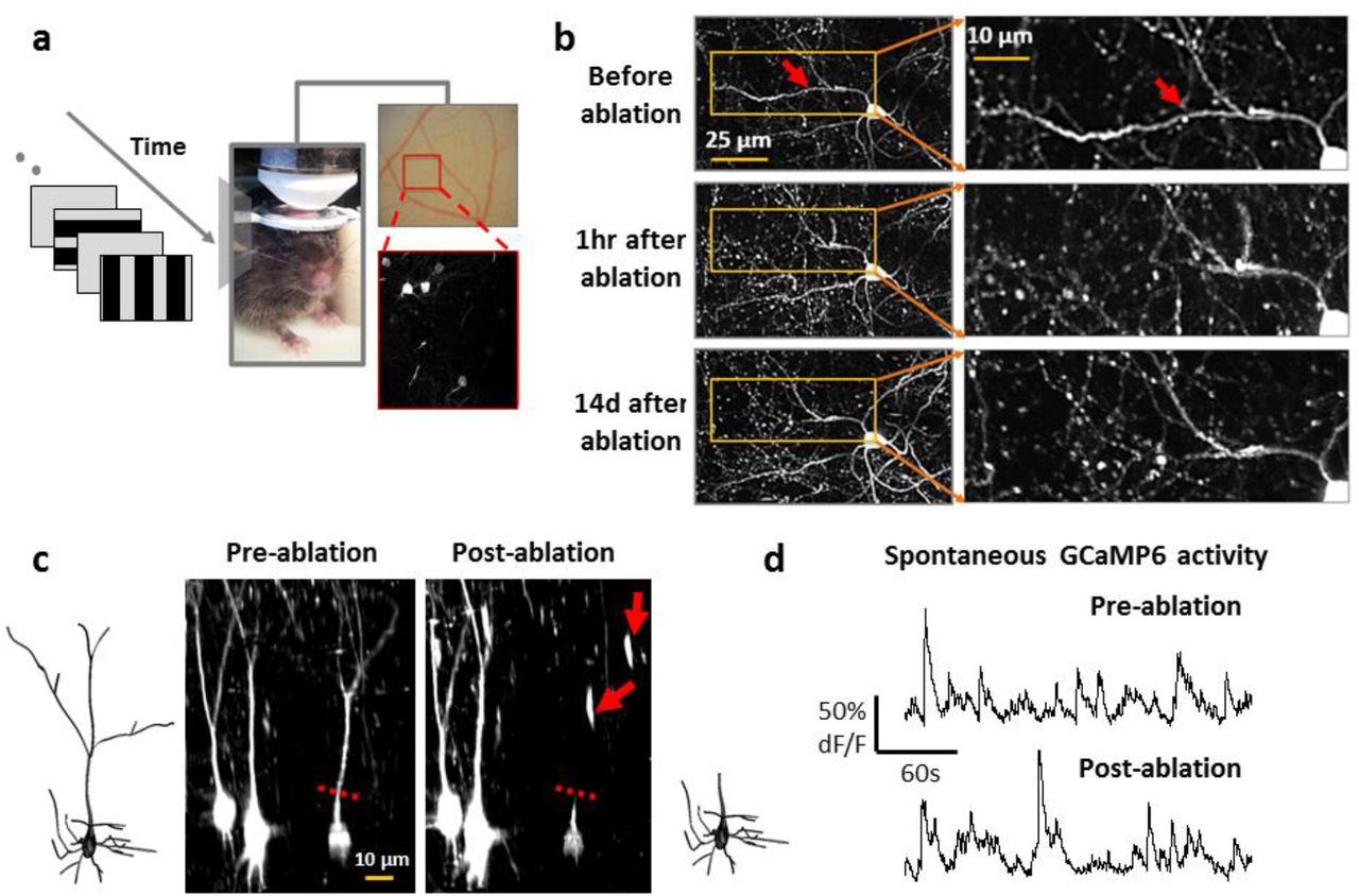 Contribution of Apical and Basal Dendrites of L2/3 Pyramidal Neurons