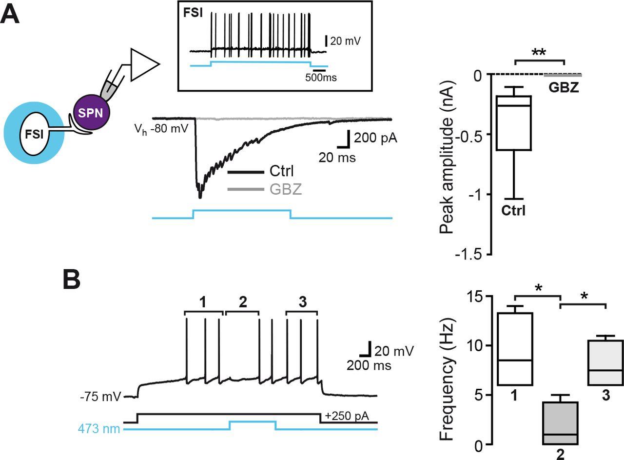 Somatostatin-Expressing Interneurons Co-Release GABA and Glutamate