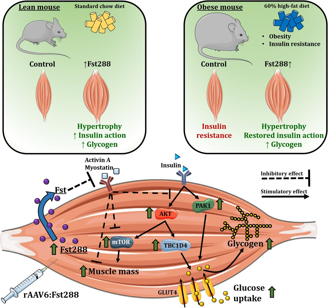 Mechanisms involved in follistatin-induced increased insulin