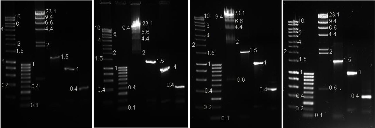 GelRed™ Left: Preload 10x. Left Middle: Preload 100x. Right Middle: Precast. Right: Post-stain. Photographed on a UV transilluminator 365nm with an EtBr filter. Lane 1: 1μl of Hyperladder 1kb™ (Bioline) 2: 1μl of Hyperladder IV ™ (Bioline) 3: 0.3μg Lambda DNA HindIII marker2 ™ (ThermoScientific™) 4: 580ng of PCR product 5: 27ng of PCR product 6: 8ng of PCR product (as measured on a Qubit ™ Fluorometer)