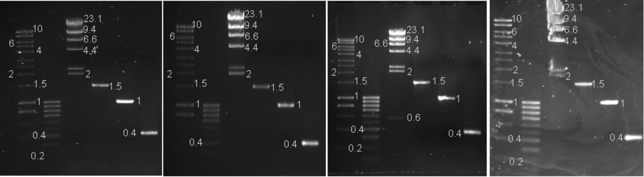 Left: EZ-Vision®One Right: SafeWhite. Photographed on a UV transilluminator 365nm with a SYBR™ filter. Lane 1: 1μl of Hyperladder 1kb™ (Bioline) 2: 1μl of Hyperladder IV™ (Bioline) 3: 0.3μg Lambda DNA HindIII marker2 (ThermoScientific™) 4: 580ng of PCR product 5: 27ng of PCR product 6: 8ng of PCR product (as measured on a Qubit ™ Fluorometer)