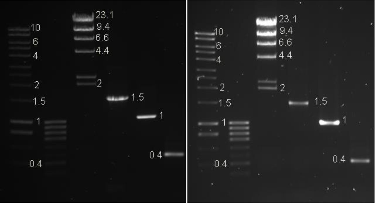 Preload 10x. Top panel: UV transilluminator 365nm with a SYBR™ filter. Centre panel: UV transilluminator 365nm with an EtBr filter. Bottom panel: Invitrogen SafeImager with amber filter. Exposure times vary. Lane 1: 1μl of Hyperladder 1kb™ (Bioline) 2: 1μl of Hyperladder IVTM (Bioline) 3: 0.3μg Lambda DNA HindIII marker2 (ThermoScientific™) 4: 580ng of PCR product 5: 27ng of PCR product 6: 8ng of PCR product