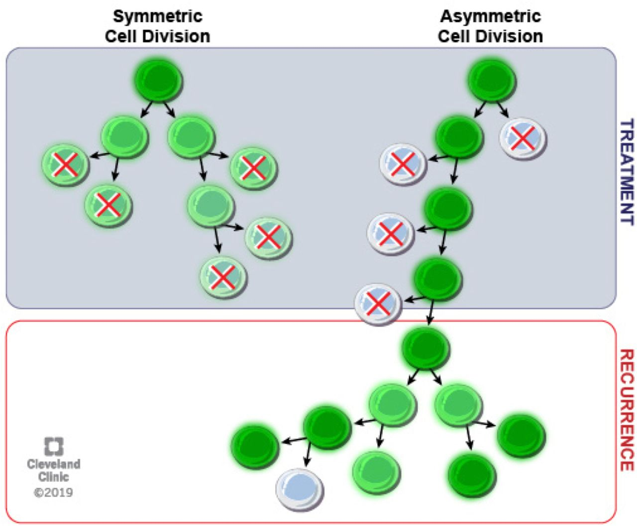 Asymmetric Division Promotes Therapeutic Resistance in