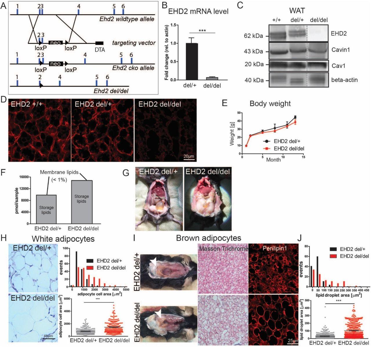 EHD2-mediated restriction of caveolar dynamics regulates