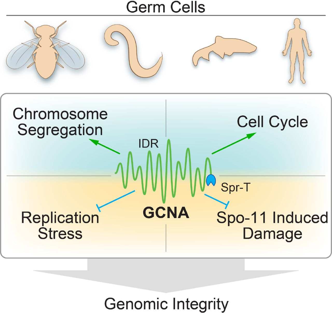 GCNA preserves genome integrity and fertility across species