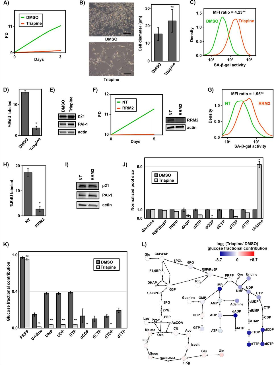 Inhibition of nucleotide synthesis mediates replicative senescence