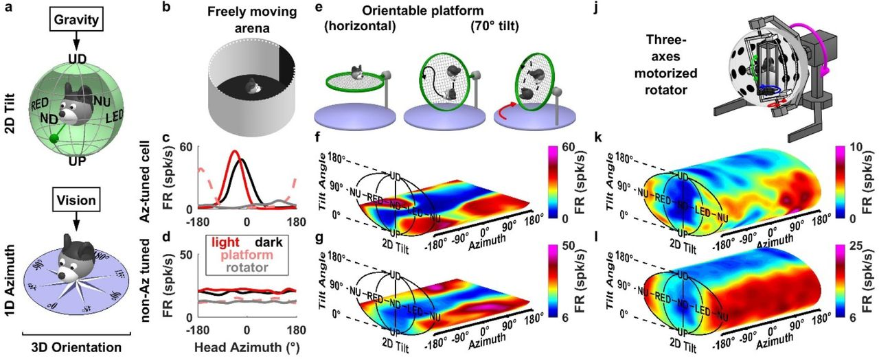 A gravity-based three-dimensional compass in the mouse brain | bioRxiv