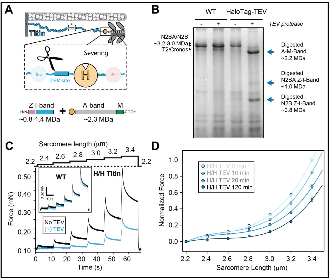 A HaloTag-TEV genetic cassette for mechanical phenotyping of