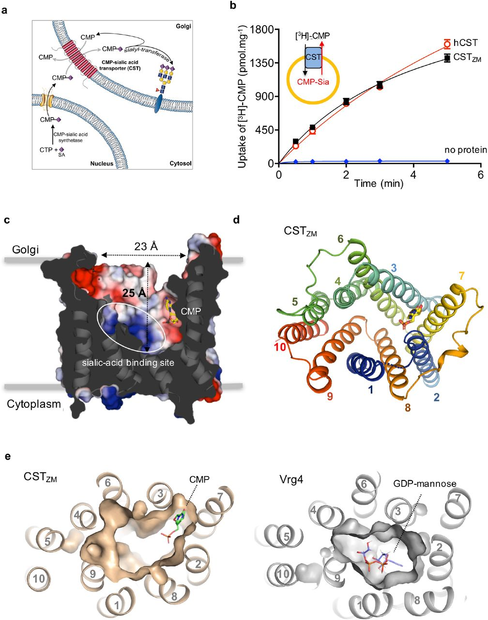 Structural basis for the delivery of activated sialic acid
