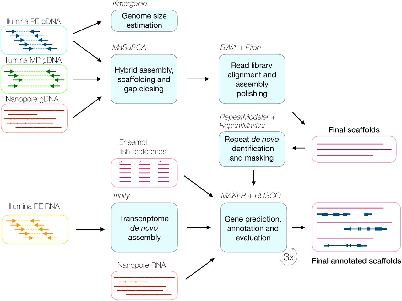 Hybrid genome assembly and annotation of Danionella