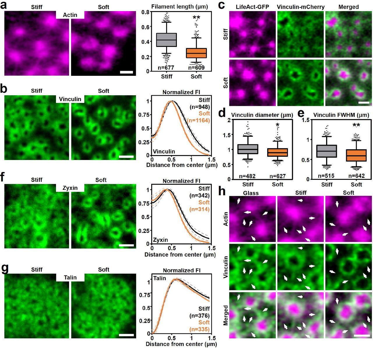Modular actin nano-architecture enables podosome protrusion