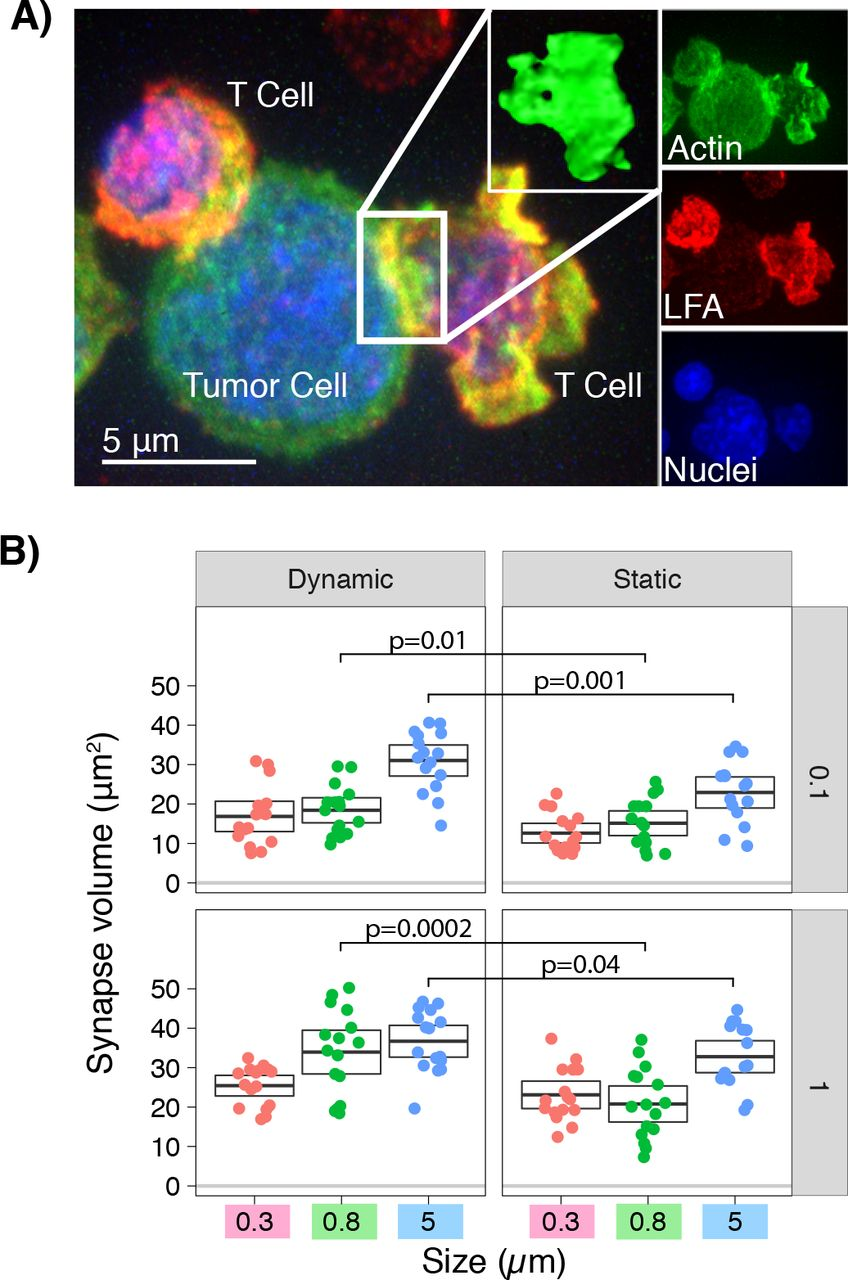 Augmentation of T-cell activation by oscillatory forces and
