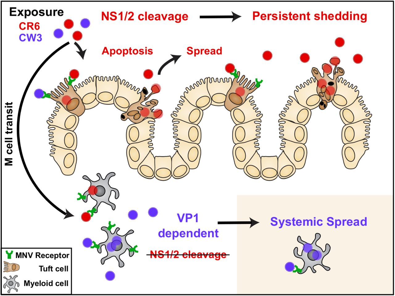 Caspase-mediated cleavage of murine norovirus NS1/2 potentiates