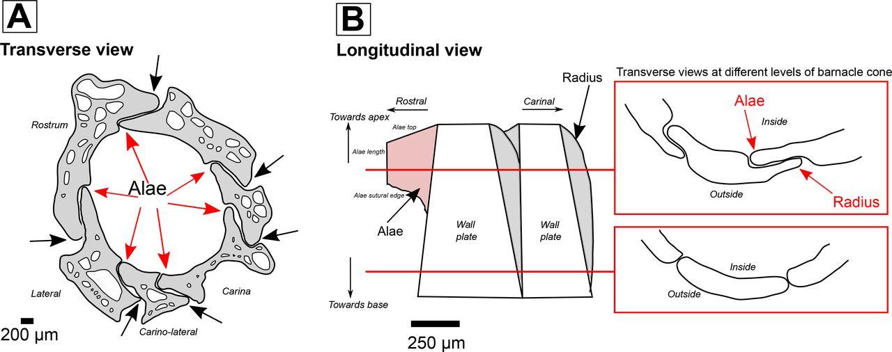 Macro-to-nano scale investigation of the acorn barnacle Semibalanus ...