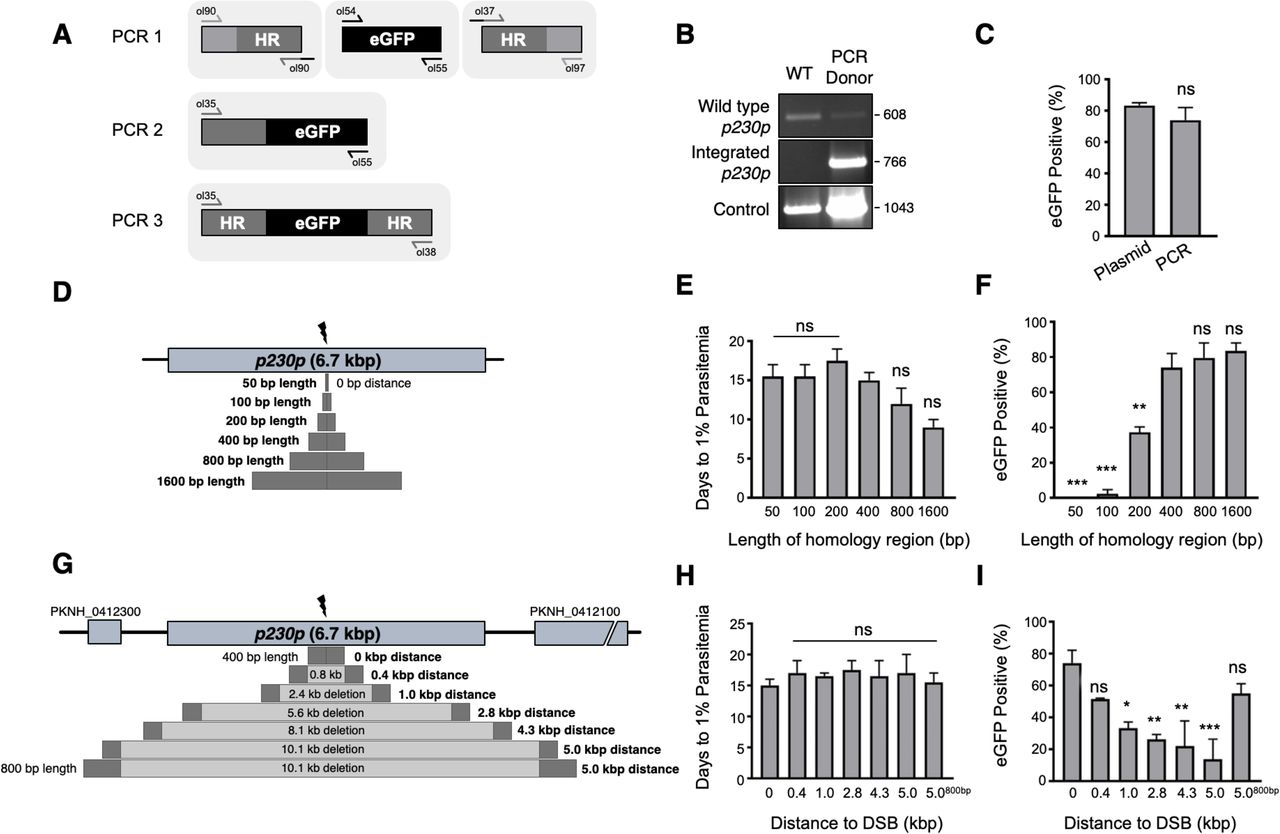 Rapid and iterative genome editing in the zoonotic malaria