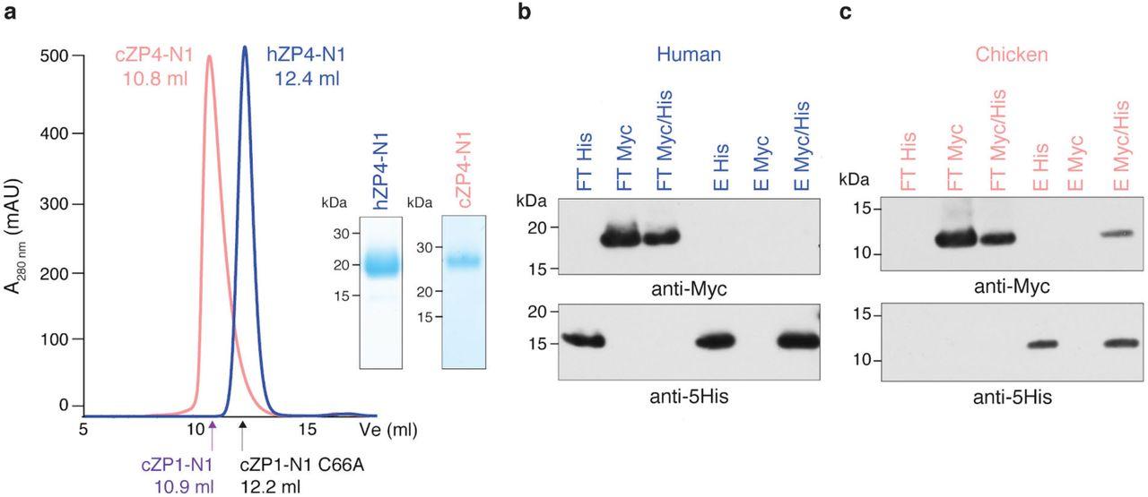 Molecular basis of egg coat cross-linking sheds light on ZP1