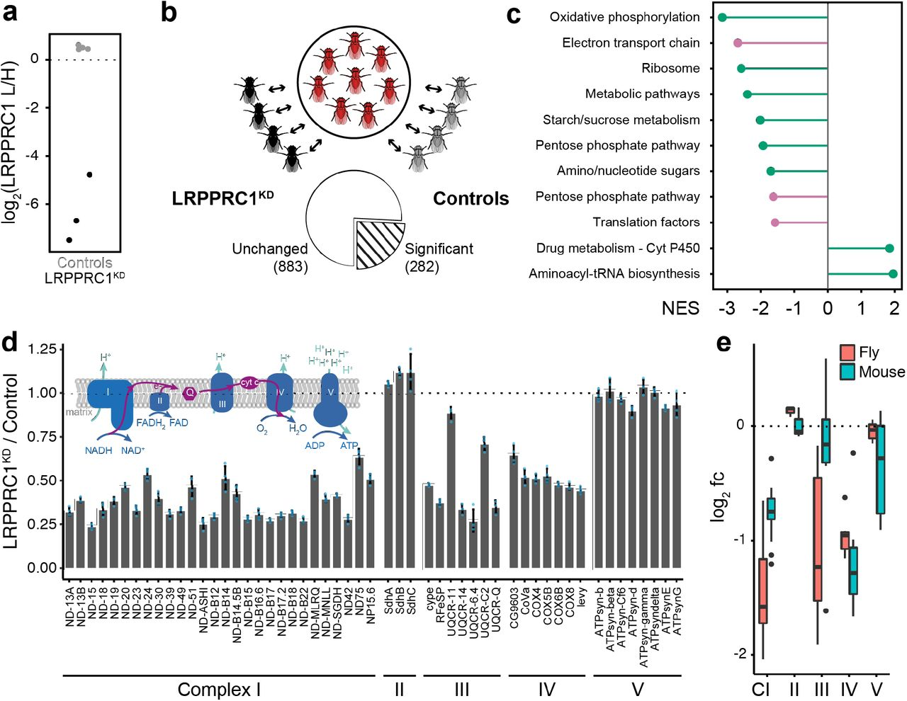 Versatile proteome labelling in fruit flies with SILAF | bioRxiv