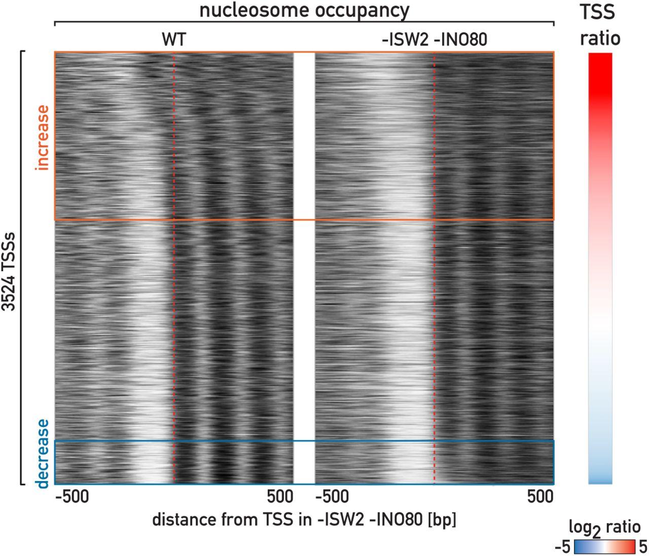 Opposing chromatin remodelers control transcription initiation