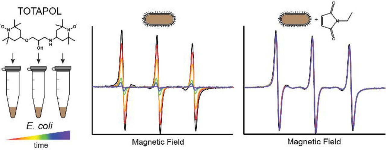 Stability of Nitroxide Biradical TOTAPOL in Biological Samples | bioRxiv