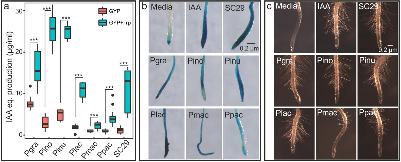 A novel phyllosphere resident Protomyces species that interacts with