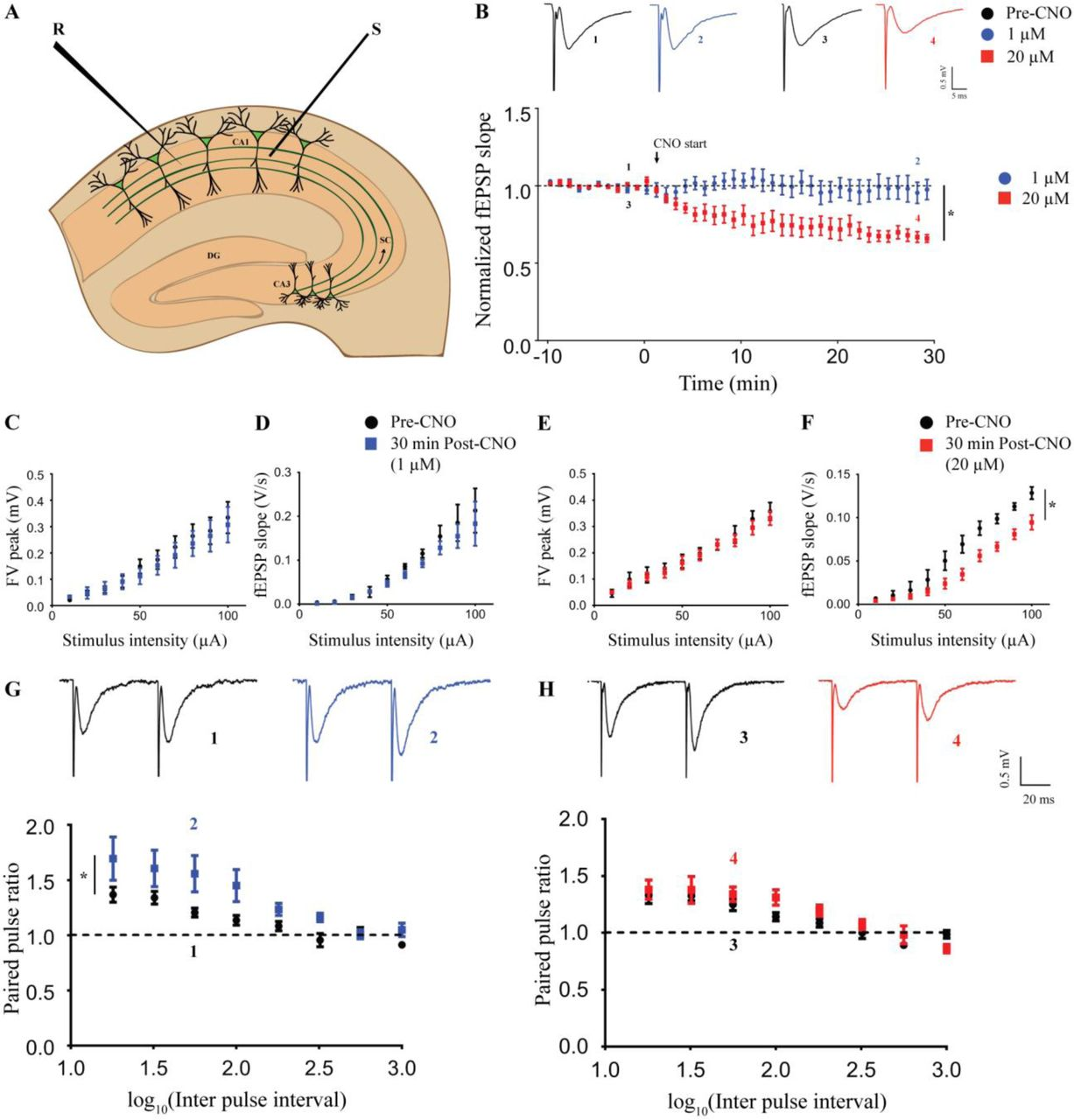 Chemogenetic activation of excitatory neurons alters hippocampal