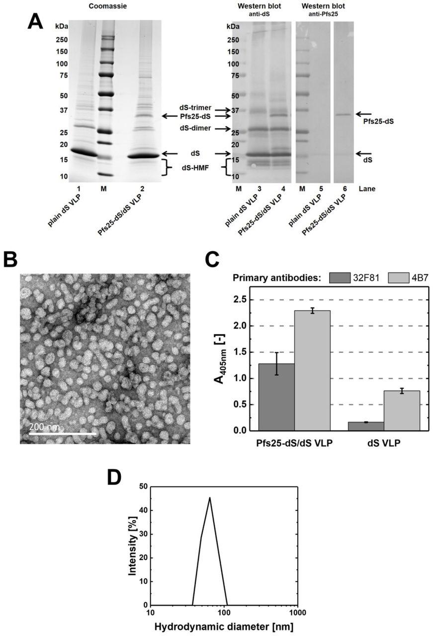 Display of malaria transmission-blocking antigens on chimeric DHBV