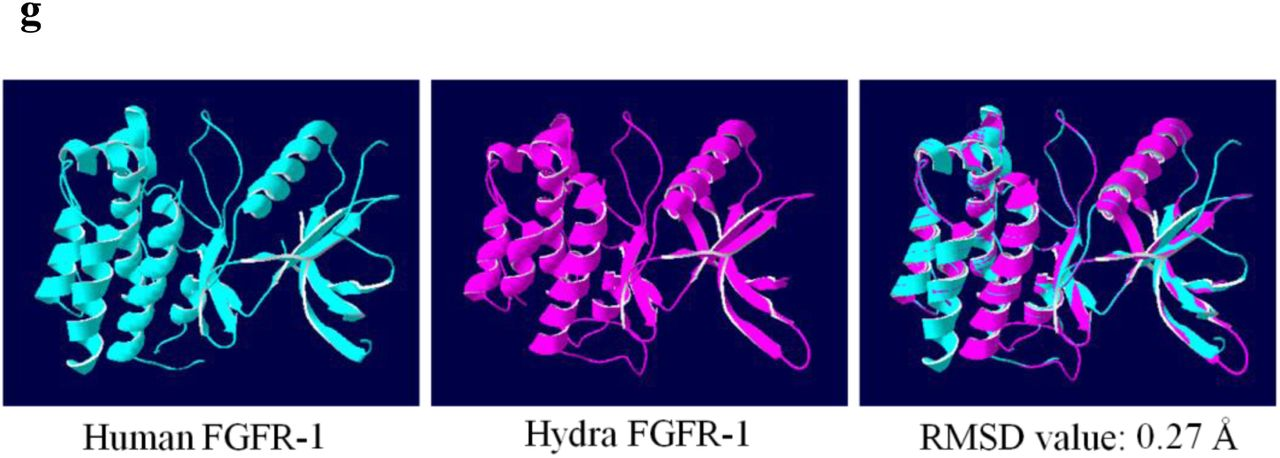 VEGF and FGF signaling during head regeneration in hydra | bioRxiv