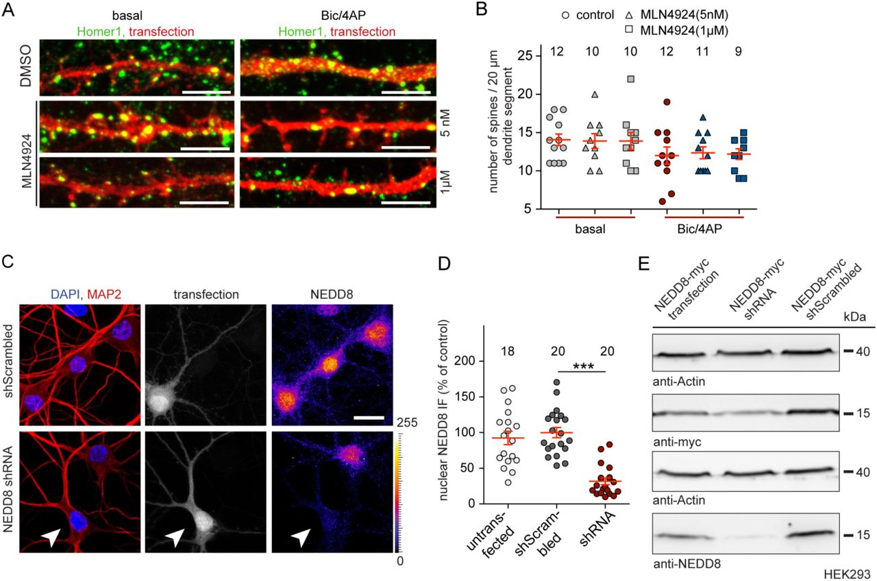 Synaptic control of DNA-methylation involves activity-dependent