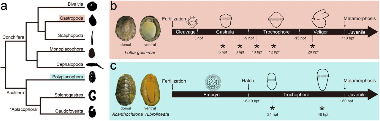 The Importance Of Identified Neurons In Gastropod Molluscs To >> Dorsoventral Dissociation Of Hox Gene Expression Underpins The