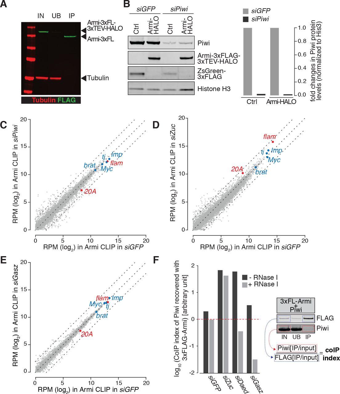 Daedalus and Gasz recruit Armitage to mitochondria, bringing piRNA