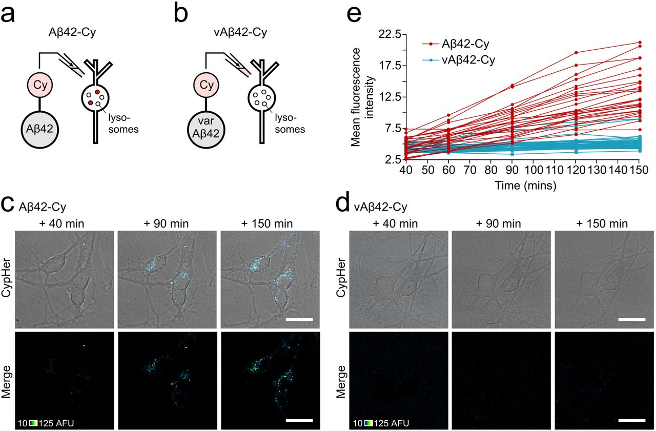 Misfolded amyloid β-42 induced impairment of the endosomal