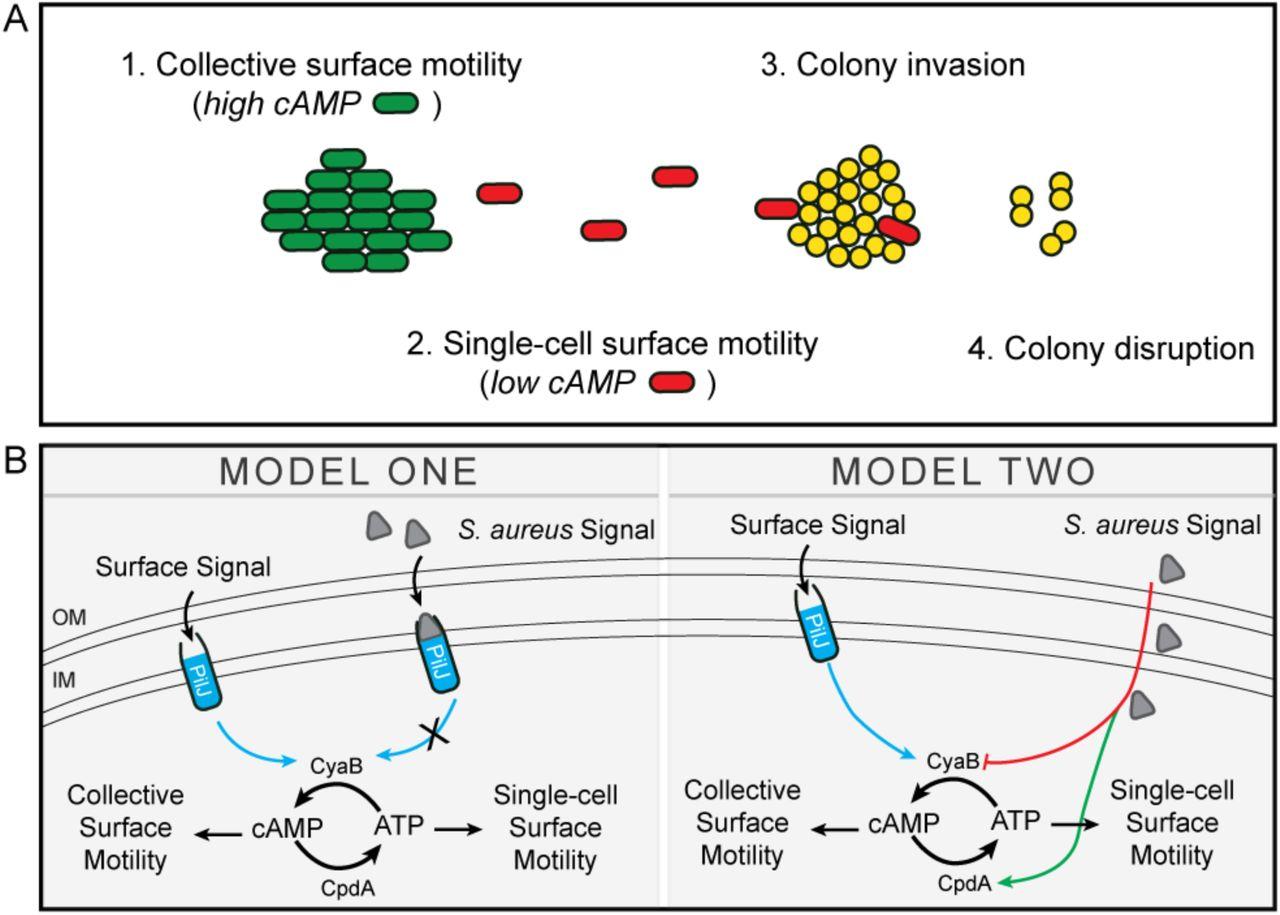 Interspecies signaling generates exploratory motility in