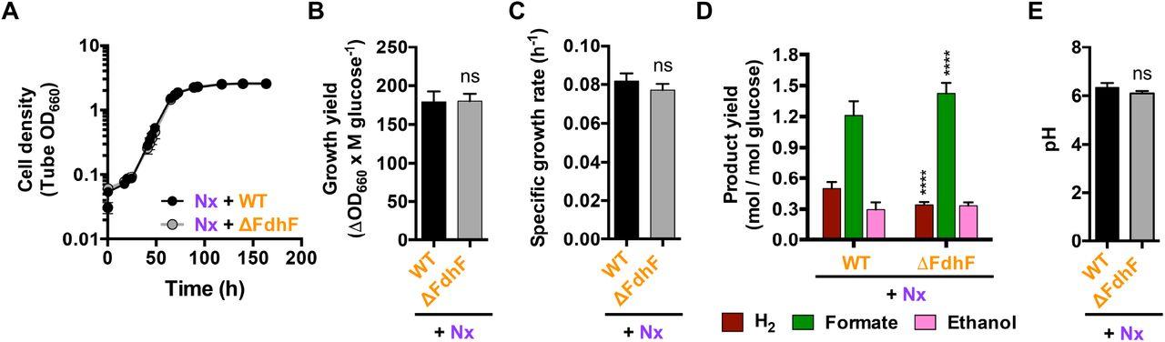 Fermentative Escherichia coli makes a substantial contribution to H2