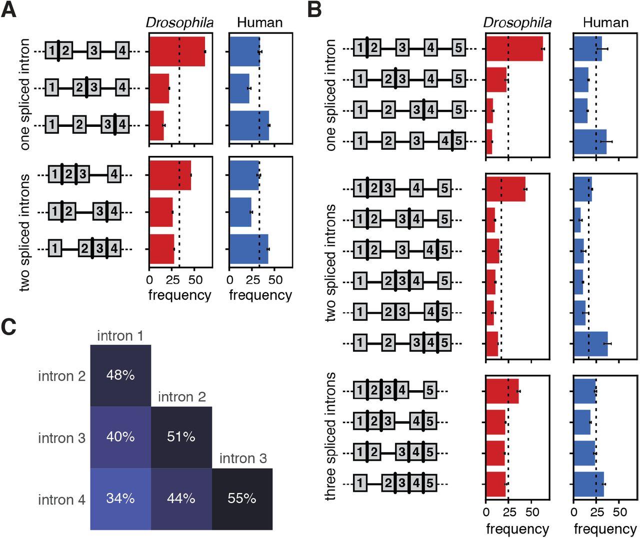 Human co-transcriptional splicing kinetics and coordination