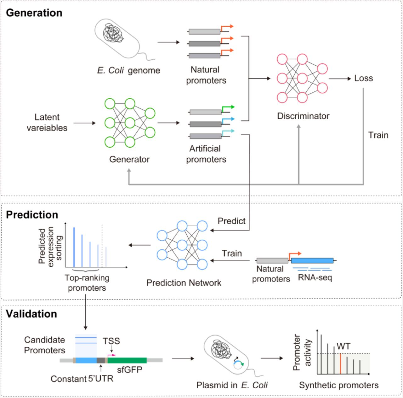Synthetic Promoter Design in Escherichia coli based on