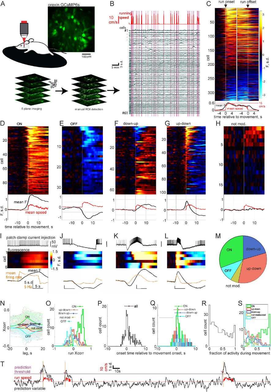 Rapid sensory integration in orexin neurons governs probability of
